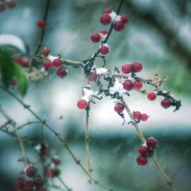Snow Winter Berries
